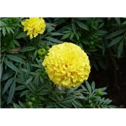 Seminte Tagetes erecta Imperiale Yellow