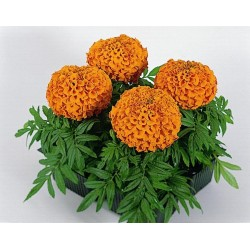 Seminte Tagetes erecta Antigua F1 Orange