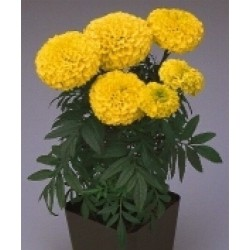 Seminte Tagetes erecta Lady F1 First Yellow