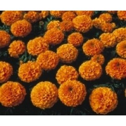 Seminte Tagetes erecta Lady F1 Orange