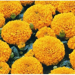 Seminte Tagetes erecta Marvel F1 Orange