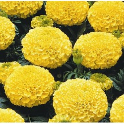 Seminte Tagetes erecta Marvel F1 Yellow