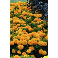Seminte Tagetes erecta Taishan F1 Orange