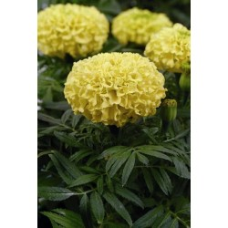 Seminte Tagetes erecta Taishan F1 Yellow