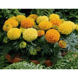 Seminte Tagetes erecta Antigua F1 mix