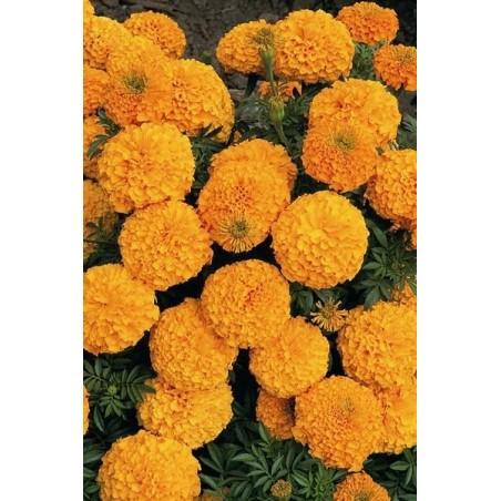 Seminte Tagetes erecta Inca II F1 Orange seminte invelite