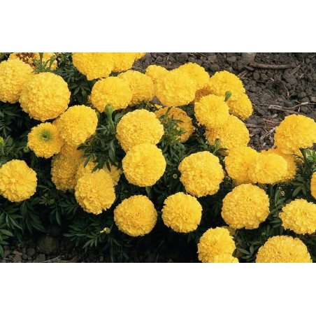 Seminte Tagetes erecta Inca II F1 Yellow seminte invelite