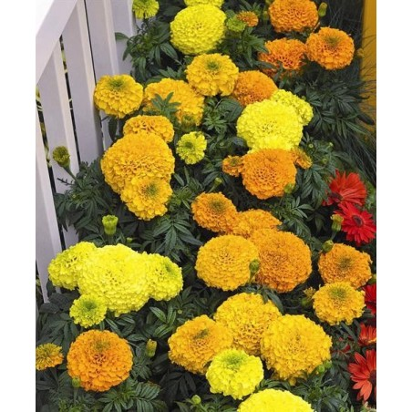 Seminte Tagetes erecta Perfection F1 Orange seminte invelite