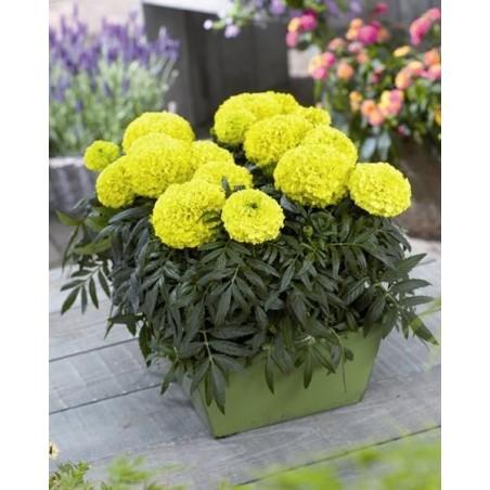 Seminte Tagetes erecta Taishan F1 Yellow seminte invelite