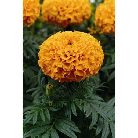 Seminte Tagetes erecta Taishan F1 Orange seminte invelite