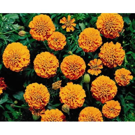 Seminte Tagetes patula Boy Orange