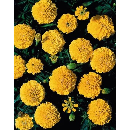 Seminte Tagetes patula Boy Yellow