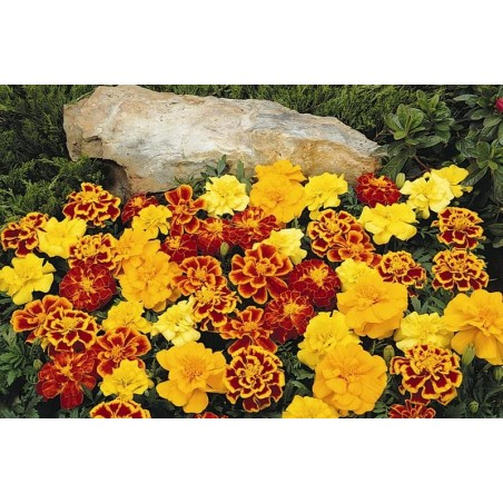 Seminte Tagetes patula Pack Moon mix