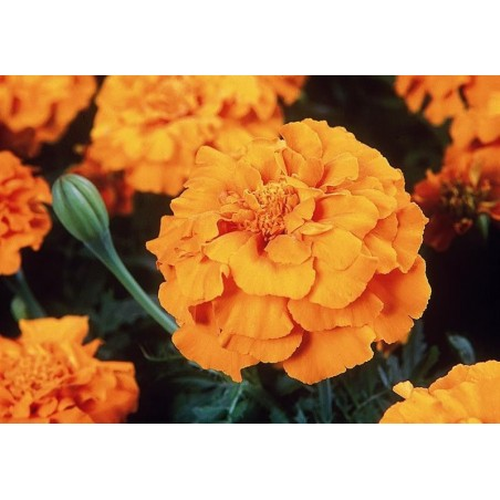 Seminte Tagetes patula Pack Moon Orange