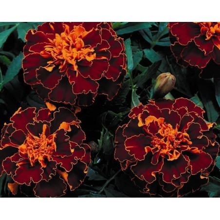 Seminte Tagetes patula Pack Moon Red