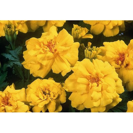 Seminte Tagetes patula Pack Moon Yellow