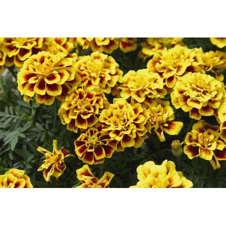 Seminte Tagetes patula Pack Moon Yellow Fire