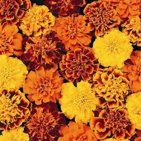 Seminte Tagetes patula Pack Star mix