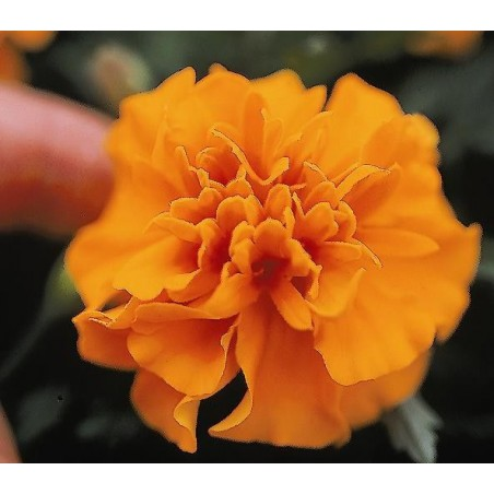 Seminte Tagetes patula Pack Star Orange