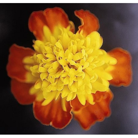 Seminte Tagetes patula Pack Star Spry