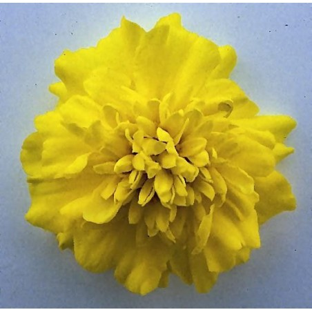 Seminte Tagetes patula Pack Star Yellow
