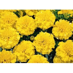 Seminte Tagetes patula Hero Yellow