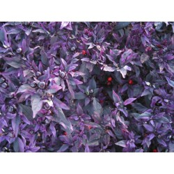 Capsicum annuum - Purple Flash - Ardei iute decorativ