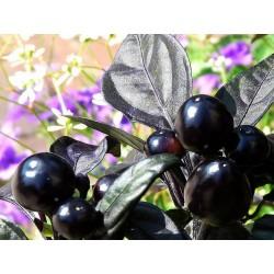 """Capsicum annuum """"Black Pearl F1"""" Ardei iute decorativ"""