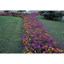 Seminte Verbena rigida Venosa Deep Lilac