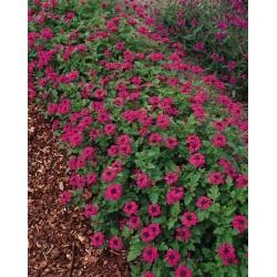 Seminte Verbena canadensis Toronto Lilac Rose