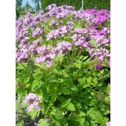 Seminte Verbena canadensis Toronto Silver Pink