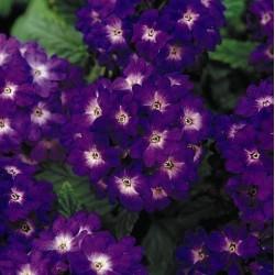 Seminte Verbena hybrida Quartz Blue