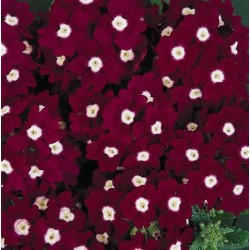 Seminte Verbena hybrida Quartz XP Burgundy Eye