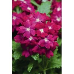 Seminte Verbena hybrida Quartz XP Carmine Rose