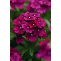 Seminte Verbena hybrida Quartz XP Purple