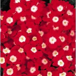 Seminte Verbena hybrida Quartz XP Red with Eye