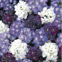 Seminte Verbena hybrida Quartz XP Waterfall mix