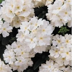Seminte Verbena hybrida Quartz XP White