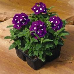 Seminte Verbena hybrida Tuscany Violet Eye