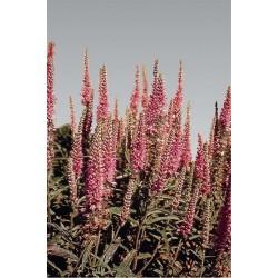 Seminte Veronica spicata Rosea