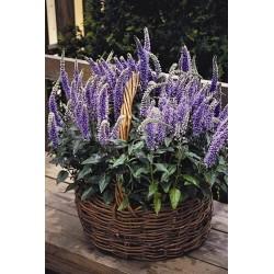 Seminte Veronica spicata Blue Bouquet seminte drajerate