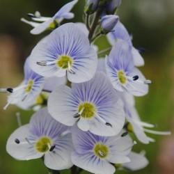 Seminte Veronica gentianoides
