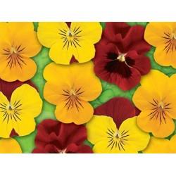Seminte Viola cornuta Callisto F1 Brazil mix