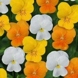 Seminte Viola cornuta Callisto F1 Citrus mix