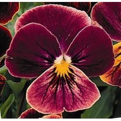 Seminte Viola cornuta Callisto F1 Antique Shades