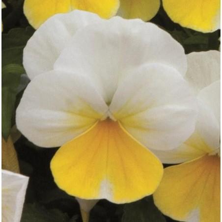 Seminte Viola cornuta Callisto F1 Banana Cream