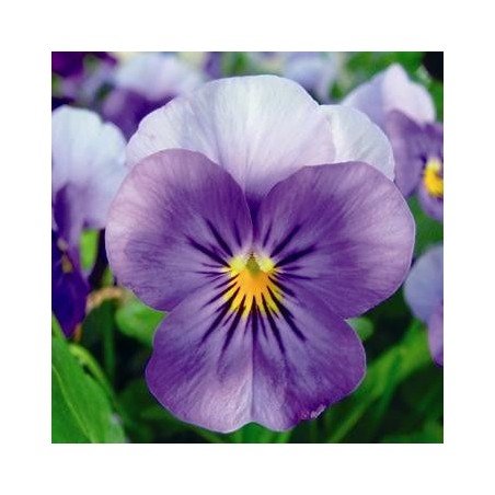 Seminte Viola cornuta Callisto F1 Beacon Blue