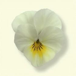 Seminte Viola cornuta Callisto F1 Beacon Yellow