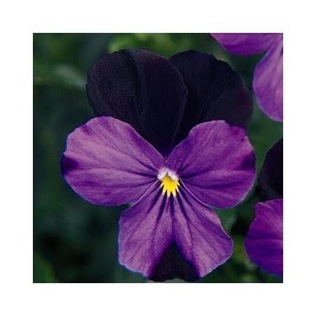 Seminte Viola cornuta Callisto F1 Black Duet