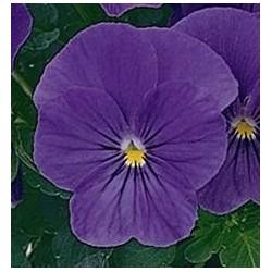 Seminte Viola cornuta Callisto F1 Blue